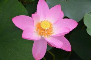 Lotus039)