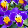 20180213-DSC_0927(紫色のパンジー)