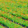 20140308-20140308 (61)ポピー畑