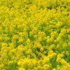 20140308菜の花
